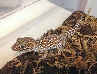 Pictus/Panther Gecko