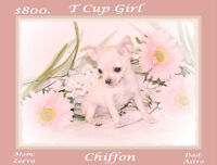 TCUP CHIHUAHUA PUPPIES REGULAR SIZES TOO 5 YR. HLTH .GUARANTEE