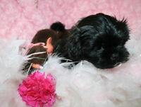 ABSOLUTELY GORGEOUS 3/4 SHIH TZU 1/4 YORKIE PUPPIES