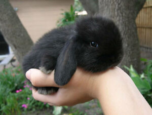 Only One Adorable baby mini lop left waiting for a forever home