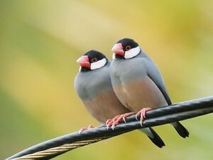 Two make Java finch -cage and food