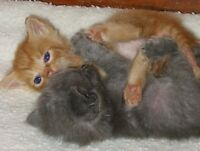 Maine Coon x Kittens