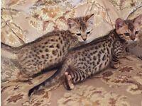 Pedigree Bengal kittens girls