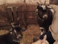 Two wether Pygmy goats