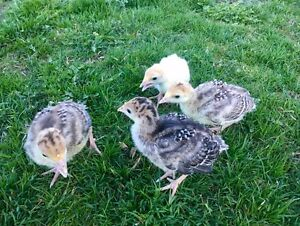 Heritage Turkey Poults
