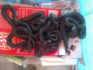 Coastal Carpet Pythons Hatched on 8/2/2016 Kallangur Pine Rivers Area Preview