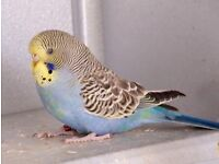 Young budgie looking for a new home