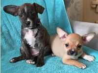 Frenchbull dogs x