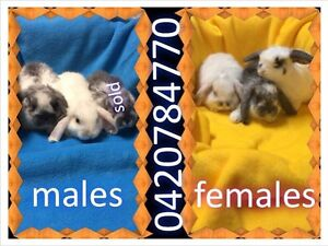 Rabbit mini lop Morley Bayswater Area Preview
