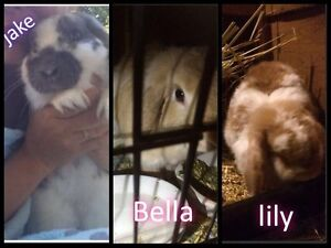 Rabbit adult mini lop $50 each or 3 for $100 Morley Bayswater Area Preview