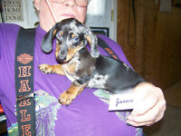 Purebred Dachshund- smooth coat mini