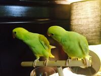 Bebe perruche a collier NAM/baby indian ringneck HAND FEED