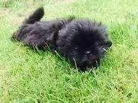 Stunning Shih Tzu Shihtzu puppies READY NOW