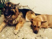 German Shepherd X Puppies For Sale