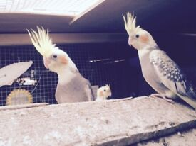 Beautiful Cockatiels for sale