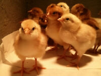Baby Chicks - Barnyard Mix Egg Layers