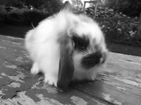 Male holland lop (Ready now)