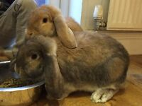 2 bonded rabbits and double hutch