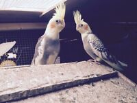 Beautiful Baby cockatiels for sale