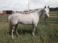 5 Year Old QH Mare Started Under Saddle Walk Trot and Lope