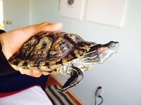 Red Eared Slider Turtle for sale $60 OBO
