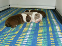 Colored Boston Terrier Babies, Fat Baby Bostons on Facebook