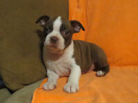 Red and white Boston Terrier