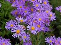 Aster Plants in 5 Inch Pot Flowering End of August