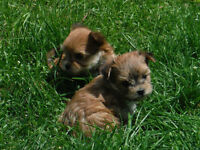 Morkies Only 1 baby boy left......