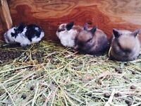 Pedigreed holland lop bunnies for sale