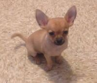 2 Small Twin Chihuahua Females Puppies Ready