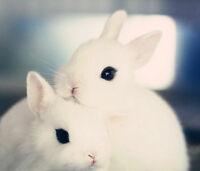 Female Dwarf Hotot Rabbits (Wanted)