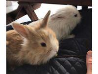 Lion head rabbits for sale