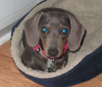 Blue Miniature Dachshund
