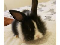 Lion/Lop / Rex baby bunnies for sale