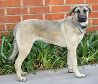 Large, Young-Adult, Female, Shepherd-Mix Dog