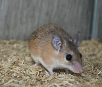 Spiny Mouse - Adult Male (Proven Breeder)