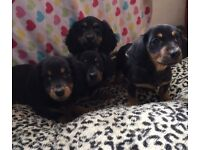Dachshund pups Black and Tan