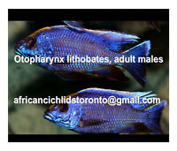 Malawi & Tanganyican African Cichlids, lithobates, tropheus, ahl