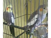Cockatiel pair for sale