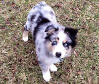 WANTED: AUSTRALIAN SHEPHERD PUPPY BLUE MERLE