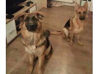 10 german Shepherd pups kc registered pedigree ready for 13th September 5 male 5 female