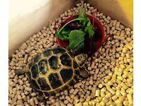 Bernard-Horsfield tortoise