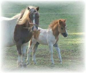 A.M.P.S / M.H.A.A Duel registered Miniature pinto broodmare Burnie Burnie Area Preview