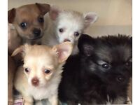 Tiny tea cup chihuahua puppies