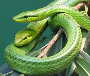 Red Tail Green Ratsnakes