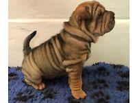 KC Shar Pei pups