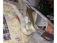 Male albino corn snake super tame adult