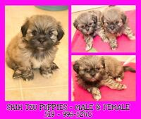 5 Shih Tzu Puppies for Sale!!!