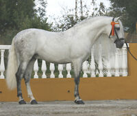 2 Andalusian Stallons PRE